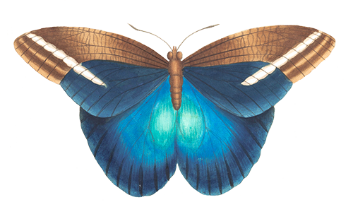 Anelytron Butterfly